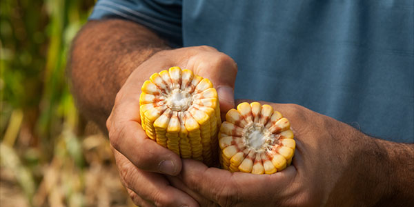 Is 1 000 Kernel Wt. the Next Key to Even Higher Yields?