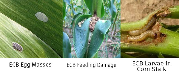 European Corn Borer (ECB) Resistance to Bt in Atlantic Canada