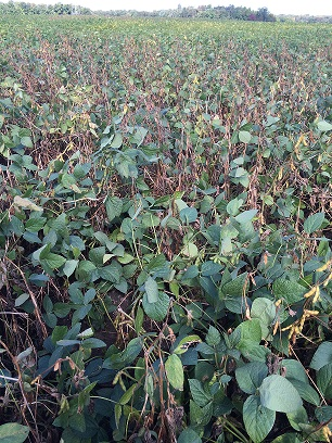 Photo of susceptible soybeans infected  with white mold (sclerotinia)