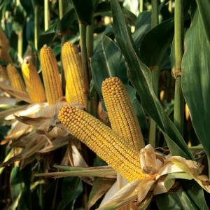 Maizex Seeds Inc. Dented Corn