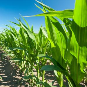 Maizex Corn Field