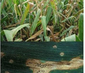 Maximizing Corn Yield with your Management Toolbox
