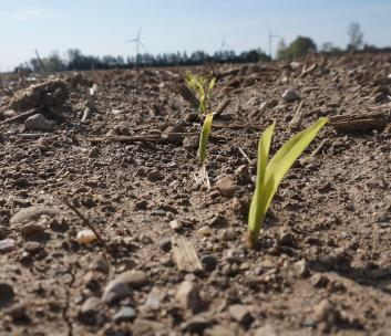 Early Corn Field Evaluation