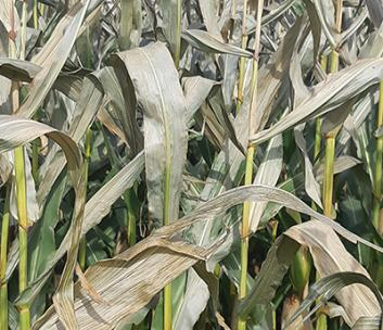 Impact of Frost Events Prior to Corn Maturity