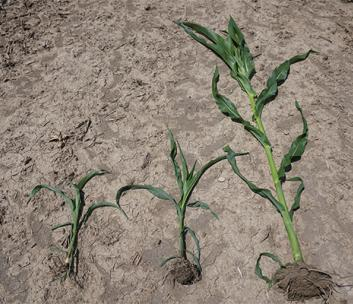 Maizex Moving - Planting Stages Management