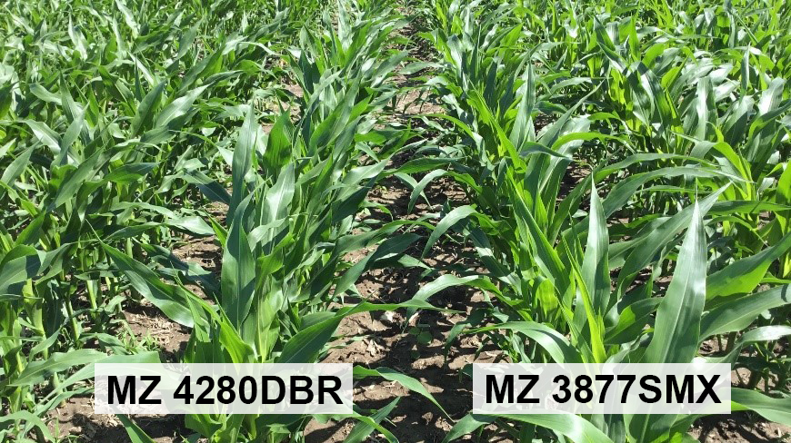 Risk Management - How genetically diverse are your corn hybrids?